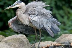NYC 2018 Dennis Newsham #3971 Great Blue Heron