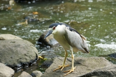 NYC 2018 Dennis Newsham #4551 Black-crowned Night Heron