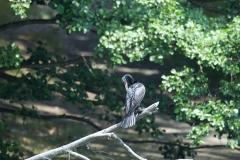 NYC 2018 Dennis Newsham #4900 Double-crested Cormorant