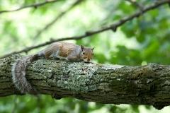NYC 2018 Dennis Newsham #4988 Gray Squirrel