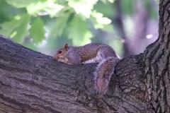 NYC 2018 Dennis Newsham #5019 Gray Squirrel