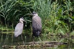 NYC 2018 Dennis Newsham #5133 Great Blue Herons