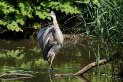 NYC 2018 Dennis Newsham #5288 Great Blue Heron