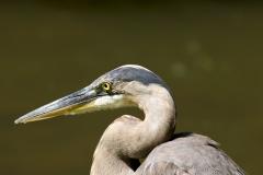NYC 2018 Dennis Newsham #5613 Great Blue Heron
